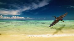 Pacific Reef Egret (arnewuensche66) Tags: beach birds composition landscape island borneo imagemanipulation egret pacificreefegret mantananiisland imagecomposing