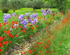 Flowers in Provence, France (janroles) Tags: flowers iris red france green grass wall purple poppy poppies mauve provence