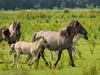 P6190108 (Rebecca_Wilton) Tags: summer horse netherlands europe mare wildlife nederland olympus paard foal em1 2016 mareandfoal oostvaarderplassen konikhorse zuikodigital50200mm