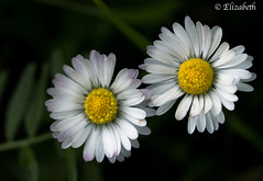 Don't let anyone trample on your daisies (beth3974) Tags: flower daisy