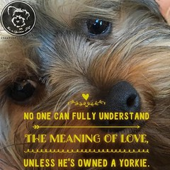 Yorkies take love to a whole new level. (itsayorkielife) Tags: instagram itsayorkielife yorkie yorkshireterrier