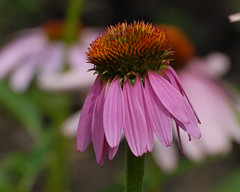 opening act (courtney065) Tags: nikond200 flowers coneflowers flora nature naturephotography landscapes summer summerflowers blooms meadows flowergardens