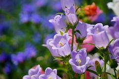 /Campanula medium (nobuflickr) Tags: flower nature japan kyoto   canterburybells thekyotobotanicalgarden campanulamedium   awesomeblossoms   20160521dsc09921