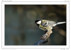Mésange | Great Tit | Parus Major (BerColly) Tags: winter france bird google flickr hiver oiseau greattit auvergne parusmajor mesange puydedome charbonniere bercolly peregrino27life nikkor300mmaff4