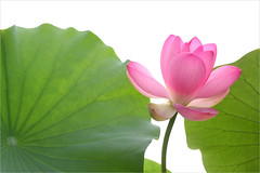 Lotus Flower - IMG_3824-1000 (Bahman Farzad) Tags: flower yoga petals peace lotus relaxing peaceful meditation therapy lotusflower lotuspetals
