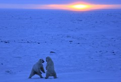 Polar bears fighting (Greenpeace UK) Tags: snow canada ice nature wildlife arctic environment polarbears seaice arcticocean
