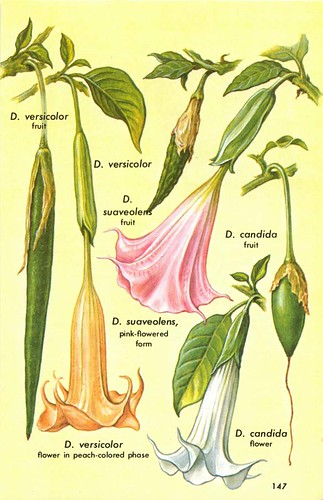 to brugmansia hallucinogenic plants a golden guide 149 a rh flickriver com golden guide to hallucinogenic plants ebay golden guide hallucinogenic plants pdf