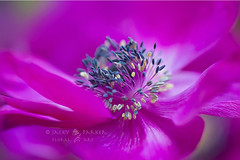 Petal Dance (Jacky Parker Floral Art) Tags: pink flower macro art nature floral horizontal closeup garden landscape one petals spring flora creative anemone single bloom flowering softfocus series orientation cerise springtime excellence decaen