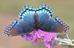 Red Spotted Purple (DrPhotoMoto) Tags: butterfly ngc northcarolina npc picnik richmondcounty redspottedpurple limenitisarthemisastyanax