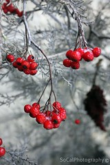 Berry Mild Winter Indeed (socalgal_64) Tags: winter red wild usa snow nature leaves leaf bush berry nebraska frost berries natural branches ngc ne arbor nebraskacity husker supershot liedslodge howardsgallerysubmitted