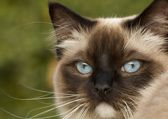 All blue eyes and whiskers (Lily Garnier) Tags: pet cat blueeyes whiskers ragdoll domesticpet canon7d