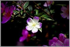 flores (Mandeandrade) Tags: folhas butterfly galinha natureza paisagem inseto borboleta hibisco araucria pintinhos hibiscoamarelo mandeandrade