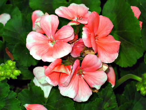 Poem The Geranium Pot