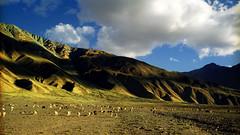 Padum. (Prabhu B Doss) Tags: mountains mamiya landscape sheep shepherd buddhist buddhism zanskar fujifilm pashmina himalayas reala ladakh prabhu kargil 65mm mamiya7 padum phey prabhub prabhubdoss zerommphotography 0mmphotography