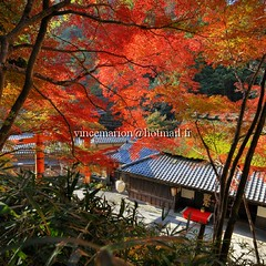Toriimoto001 (vincemarion) Tags: red fall japan automne rouge temple maple kyoto autumnleaves momiji japon feuille koyo erable toriimoto couleurautomnale