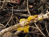 Tremella mesenterica (duckinwales) Tags: yellow fungi naturereserve fungus twig jelly ash conwy snp fraxinus tremellamesenterica llanfairfechan tremellaceae tremellales nantycoed snowdonianp tremellomycetidae nanyycoed
