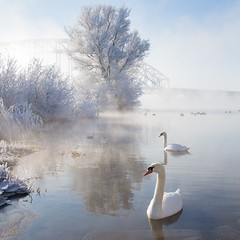 Icy Swan Lake (Edwin van Nuil Photography) Tags: bridge winter white snow ice swans photowalk ijssel zwolle winterwonderland exif:iso_speed=100 exif:focal_length=24mm exif:make=sony camera:make=sony exif:aperture=80 nex7 highqualityanimals sonynex7 zeisssonnarte24mmf18za camera:model=nex7 exif:model=nex7 exif:lens=e24mmf18za