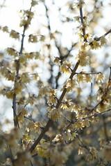 Chimonanthus praecox (peaceful-jp-scenery) Tags: flower spring sony   tamron izu      a001   dslra900 spaf70200mmf28di