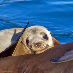 Contented Sea Lion (SARhounds) Tags: california female morrobay californiasealion zalophuscalifornianus supershot blinkagain bestofblinkwinners