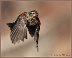Red-winged Blackbird Female (ctofcsco) Tags: canon 1div 400mm 14x flickrstruereflection2 flickrstruereflection1 wildlife allofnatureswildlifelevel2 allofnatureswildlifelevel1 flickrstruereflection3 flickrstruereflection4 allofnatureswildlifelevel3 flickrstruereflection5 flickrstruereflection6 flickrstruereflection7 allofnatureswildlifelevel4 allofnatureswildlifelevel5 silverlostcontperdidos allofnatureswildlifelevel6 allofnatureswildlifelevel7 allofnatureswildlifelevel8 allofnatureswildlifelevel9 explore extender unitedstates us colorado coloradosprings rememberthatmomentlevel1 rememberthatmomentlevel2 rememberthatmomentlevel3 rememberthatmomentlevel4 rememberthatmomentlevel5 rememberthatmomentlevel6 rememberthatmomentlevel9 rememberthatmomentlevel10 bird nature springs united states co usa 1d mark iv ef400mm f28l ii usm ef400mmf28liiusm america northamerica telephoto bokeh ef14x extenderef14xii eos1d eos1dmarkiv eos 4 mark4 teleconverter best wonderful perfect fabulous great photo pic picture image photograph
