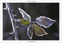 """Bouquet du matin"" (Michel Seguret thanks you all for + 7.700.000 view) Tags: winter cold season hiver invierno inverno froid frio temporada smrgsbord saison stagione dragongoldaward"