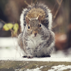 crumbs (Black Cat Photos) Tags: uk winter wild england snow cold cute nature animal canon blackcat fur photography photo squirrel europe snowy wildlife m wintercoat messy crumbs esquilo crumb ardilla wintery blackcatphotos