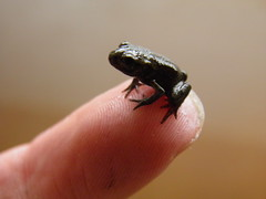 Tiny Common Toad (Toco67) Tags: nature aquarium wildlife toad wetlands amphibians