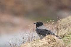Hooded Crow (glidergoth) Tags: birds wildlife crow carrion shetland hooded corvuscornix corvus corone britishbirds cornix