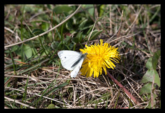 8908 Small White & Dandelion (peter harris41) Tags: white nature butterfly wildlife small dandelion rivertees redcarcleveland