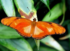 Orange Longwing Butterfly :( Dryas Julia )The striking Dryas julia, which occurs in southern and middle Amerika.De doll is completed and provided metaalachige spots. This butterfly flies throughout the year (ShotsOfMarion) Tags: orange naturaleza nature animal animals butterfly insect tiere nikon flickr natuur natura papillon animaux mariposa animais insekt dieren dier animali flevoland farfalla tier insetto insecte oranje schmetterling vlinder fel dryasjulia insecto d60 zuidamerika natuurschoon opvallend natuurfotografie middenamerika animai natuurfotograaf natural oranjepassiebloemvlinder beauty orchideenhoeve natural orangelongwingbutterfly belleza  shotsofmarion natrliche schnheit beaute naturella luttelgeesst