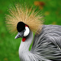 Spikey (10000 wishes) Tags: red green nature nikon wildlife marwell plumage eastafricancrane