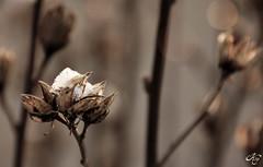 Give (LaKry*) Tags: winter snow plant nature petals bokeh circles dry natura neve inverno petali cerchi pianta secco schio