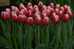 ALG_8889 (nikontino) Tags: tulipa 2012 사진 lentetuin 아름다운 breezand 한국의 ichliebetulpen 네덜란드 일을 꽃은 찾고 네덜란드에서 작가로