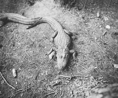 Day 97. (Nigel Bland | GOLDSTARLABS.NET) Tags: park ga georgia zoo photographer gator alligator swamp albany wildanimal okc oklahomacity chehawpark goldstarlabs nigelbland