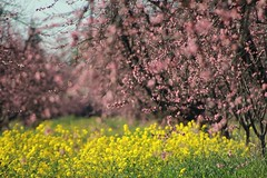 (Msjunior- so far behind-on break) Tags: trees spring orchards northerncal myspring magicunicornverybest ididtrespassforthisone pruneorchardsthescariesttreesinwinterandthemostbeautifulinspring canijustsaytodayisbeautiful sunnyblueskiesbreezyand73degrees