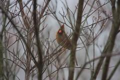IMG_6760 (SweetMeow) Tags: birds georgia cardinal feeders claires cornelia femalecardinal
