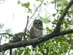 Barred owl (alansurfin) Tags: bird birds yard eyes florida owl barred