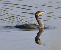 LS26 Cormorant (Steve Barowik) Tags: bird garden insect flying bill wings colours tail flight beak seed cormorant hop highspeed courtship d90 ls26 barowik stevebarowik sbofls26