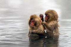 Baby snow monkeys (Oscar Tarneberg) Tags: snow japan canon monkey bath wildlife 7d ape bathing hotspring nagano 135mm jigokudani macaque  japanesemacaque 135l explored  volcanicspring canon7d
