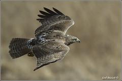 "Red-Tailed Hawk (20120313-0221) (Earl Reinink) Tags: ontario canada bird art nature birds photography landscapes nikon hawk flight canadian niagara earl bif ""bird ""nikon ""niagara photography"" ""birds ""nature ontario"" ""landscape ""fine ""earl peninsula"" flight"" lenses"" hawk"" ""redtailed d3"" ""hawk d3s"" reinink"""