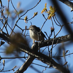 Lousiana-Waterthrush-IMG_529-crop9 (mandovinnie) Tags: waterthrush