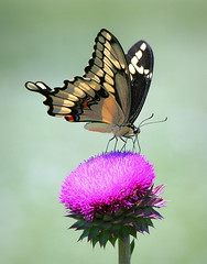 Giant Swallowtail On Thistle (TexasEagle) Tags: butterfly texas thistle southlake giantswallowtail papiliocresphontes beautifulworldchallenges bobjonesnaturecenter