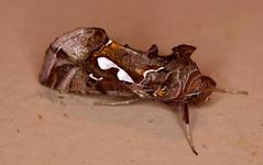 Bilobed Looper Moth – Megalographa biloba (oneryarlys) Tags: moth biloba – looper putnams plusia putnami bilobed megalographa