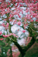 the dawn to end all nights, that's all we hoped it was (after october) Tags: pink flowers film march petals spring bokeh branches blossoms pentaxk1000 fujisuperia400 plumblossoms floweringtree titletakenfromthehighroadbybrokenbells