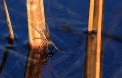 Water / Raft Spider (Judi Smelko) Tags: water spider waterspider
