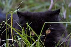 1969 (fpizarro) Tags: black minasgerais verde green grass yellow cat preto mg amarelo grama gato belohorizonte yelloweyes bh pretinho persiancat denzel gatopersa olhosamarelos fpizarro