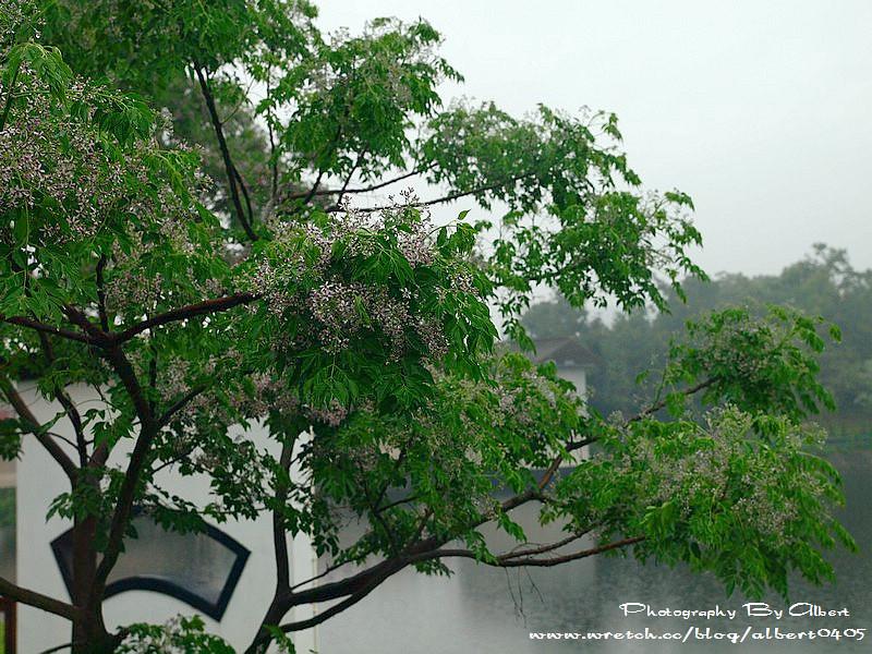 【花賞】新竹.青草湖(紫花黃花粉紅花三種願望一次滿足)