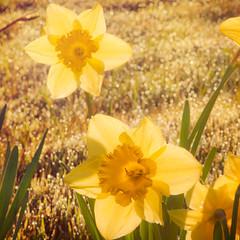 Perfect Harmony (pixelmama) Tags: california flowers light sun yellow bokeh harmony sammy daffodils hwy1 ♥ eightdaysaweek hbw goinwest population18 1montholdtoday bokehwednesday pixelmama