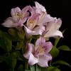Happy Birthday Ellen !! (Martha MGR) Tags: flowers flores nature natureza mmgr canoneosdigitalrebelxs marthamgr marthamariagrabnerraymundo marthamgraymundo astromeliarosa