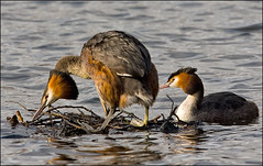 Grebe Courtship (GaryHowells) Tags: birds mating matingdisplay greatcrestedgrebes